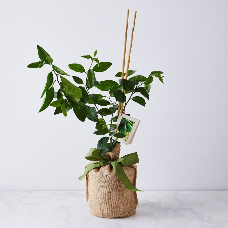 درخت لیمو مایر